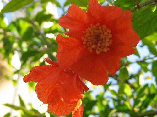 Blommor på granatäppelträd