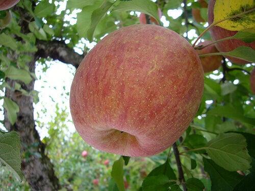 Äpple på gren