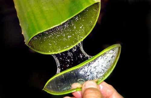 Hur man använder Aloe Vera vid förstoppning