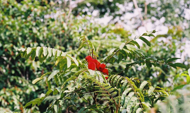 borutututräd