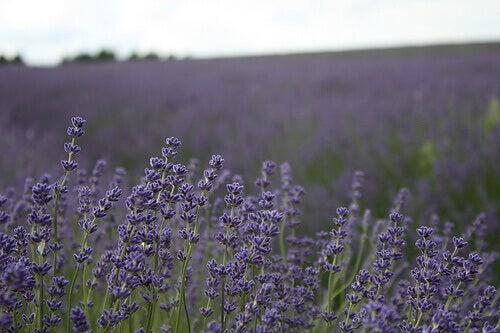 Lavendelplantering