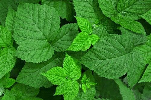 Medicinalväxter4