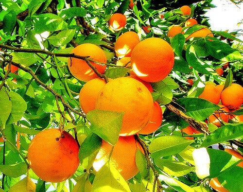apelsiner i träd