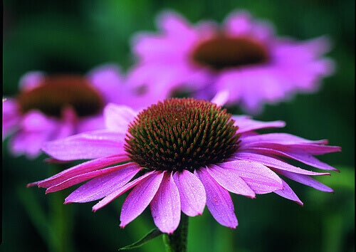 En lila solhatt