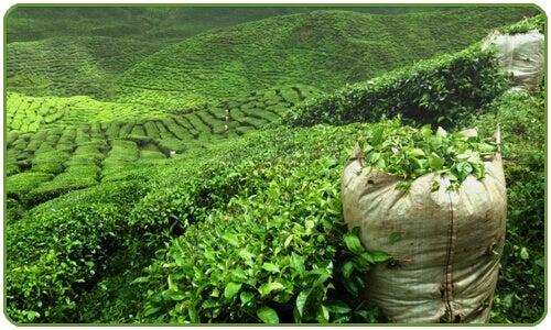 Grönt te rensar levern