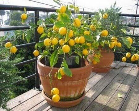 Vård-citronträd