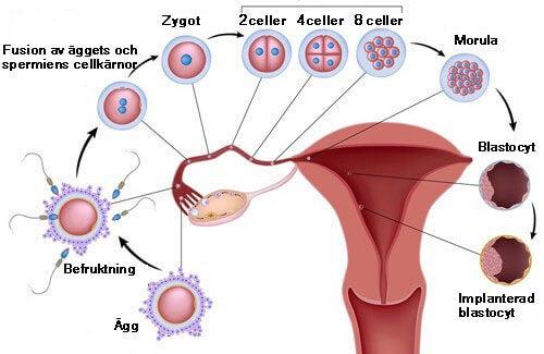 kolla fertilitet hos kvinnor