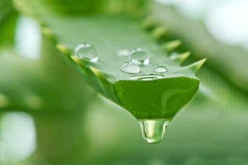 Aloe vera är bra för håret
