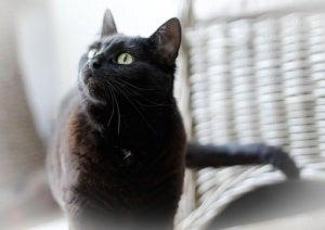 Bli av med lukten av kattkiss