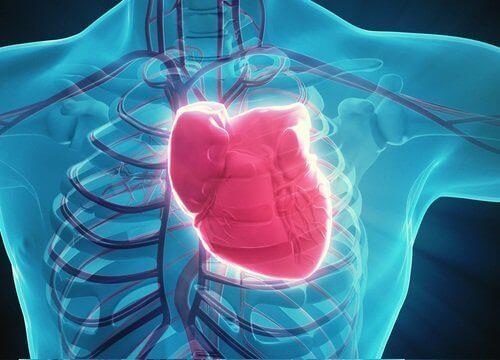 Hjärtat i människokroppen