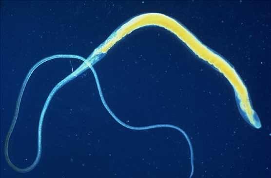 parasit2