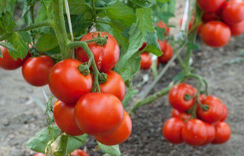 Odlar tomater