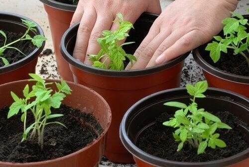 Tomatplantor i krukor