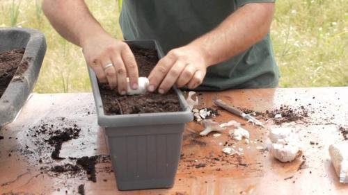 Hur man odlar vitlök hemma