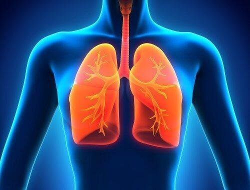 Lungorna i kroppen