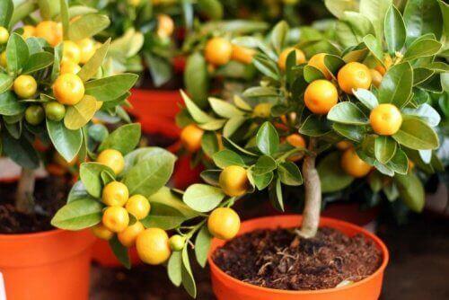 Citronträd i kruka