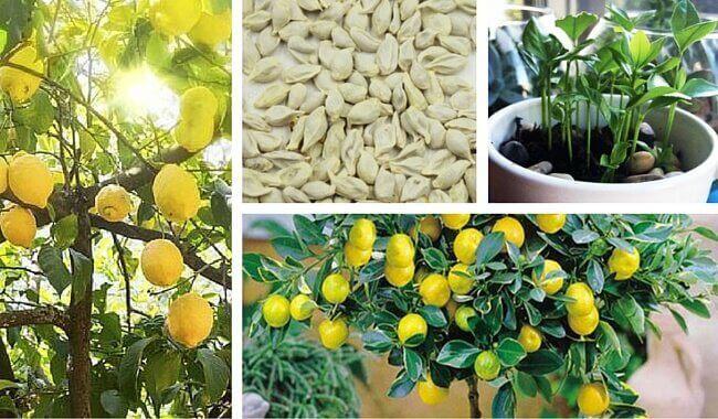Få-citronfrön-att-gro