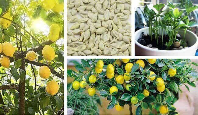 Hur du får citronfrön att gro hemma