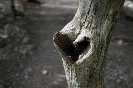 Hjärta-i-träd