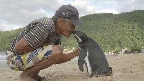 Pingvin simmar 5000 mil varje år för att besöka mannen som räddade hans liv
