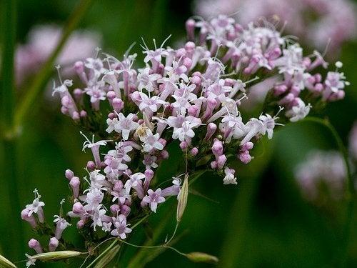 Valeriana blommor