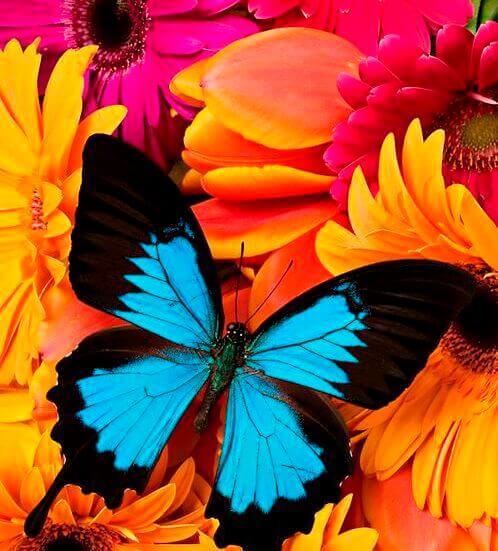 svartblå fjäril
