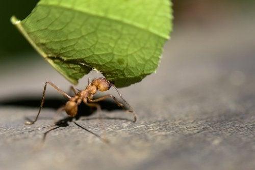 myra med blad