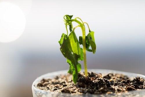 vissnande planta