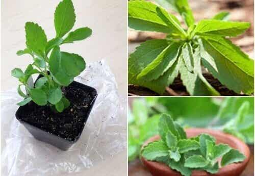 Gör ditt eget sötningsmedel: hur man odlar stevia hemma