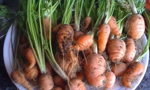 Lär dig att odla morötter hemma: enkelt och nyttigt!