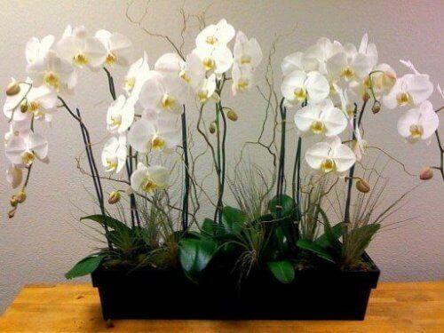 Orkidéer i låda