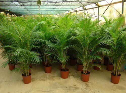 plantor i växthus