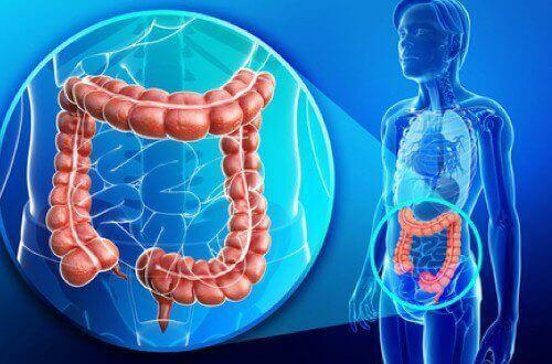 tjocktarmens läge i kroppen