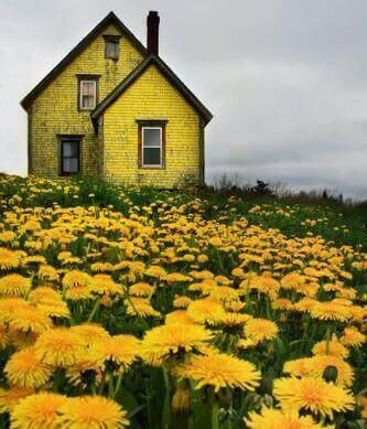 hus i maskrosfält