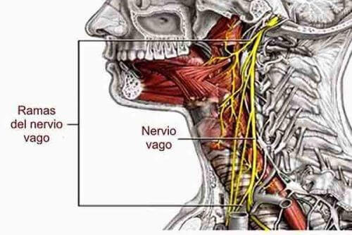 Vagusnerven och dess position
