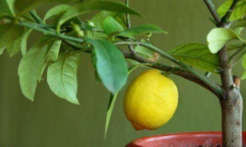 Använd citron i en mask mot rynkor