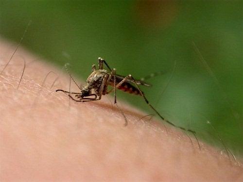 Ringblomma mot myggbett