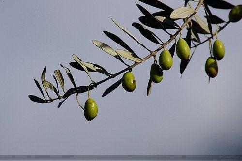 olivträd med oliver på