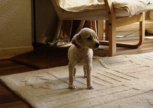 Hundvalp på matta