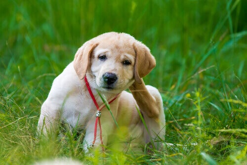 Hundvalp med loppor