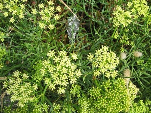 Blommande strandsiljor
