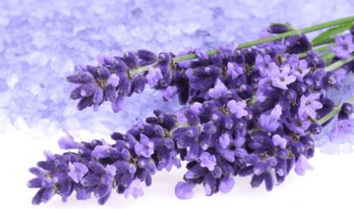 Knippe med lavendelblommor