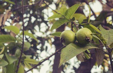 Blad från guava
