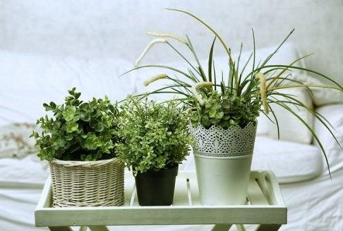 Växter i krukor.