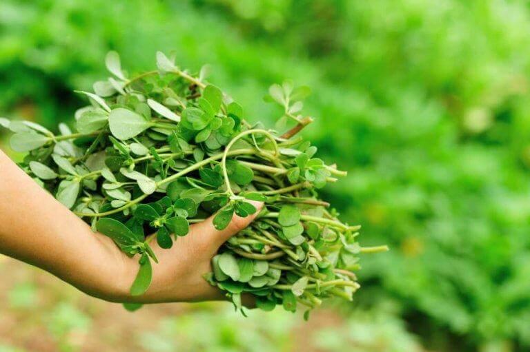 Medicinalväxten-portlak-växer-som-ett-ogräs