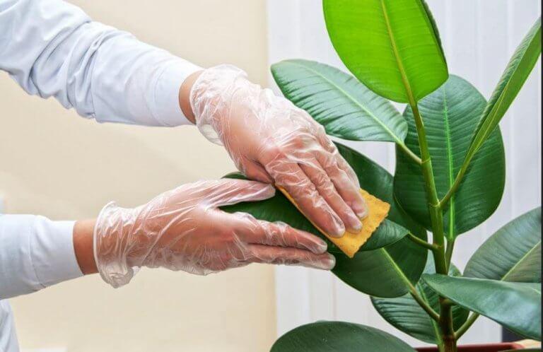 Hur man rengör bladen på krukväxter