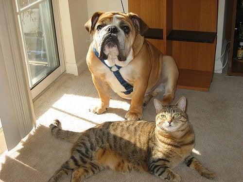 Bulldogg och katt