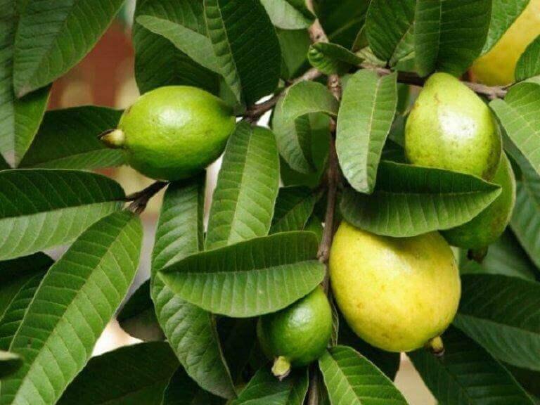 Guavablad och guavafrukt i träd