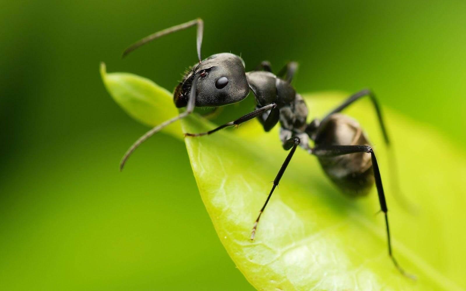 Myra på ett blad