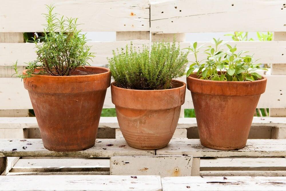Aromatiska växter i bruna krukor.